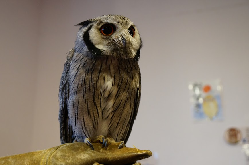 Schola, the White-Faced Scops Owl, of Owl Village and Cafe, Harajuku district, Tokyo