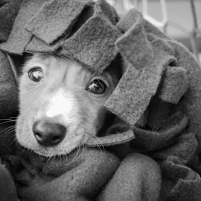 Keeping Warm by Jessica Simmons - Animals - Dogs Portraits ( blanket, black and white, dachshund, puppy, dog,  )