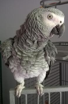Ambra parrots 1.png