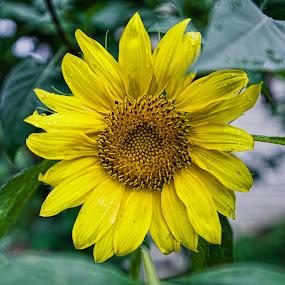 Sunflower After the Rain by Svemir Brkic - Flowers Single Flower ( rain, green, yellow, garden, sunflower,  )