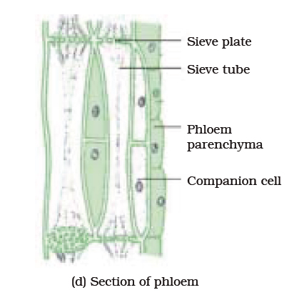 31 : What are xylem and phloem? Write differences between them. Make ... Xylem And Phloem In Plants