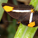Adelpha syster