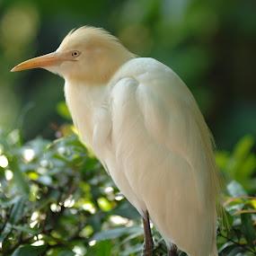 Cattle Egrets  by Zam Foto - Animals Birds ( bird, nature, zoo, avian, green, foliage, white, wildlife, zoology, egrets, heron )