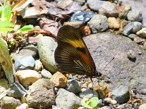 Photo: ORANGE-DISKED ACTINOTE--altinote stratonice--f--RIO PINGULLO