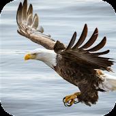 Eagle. Live wallpaper