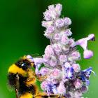 Buff-tailed Bumblebee; Abejorro Común