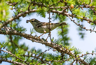 Photo: Blackpoll Warbler (female), Bidgoods Park