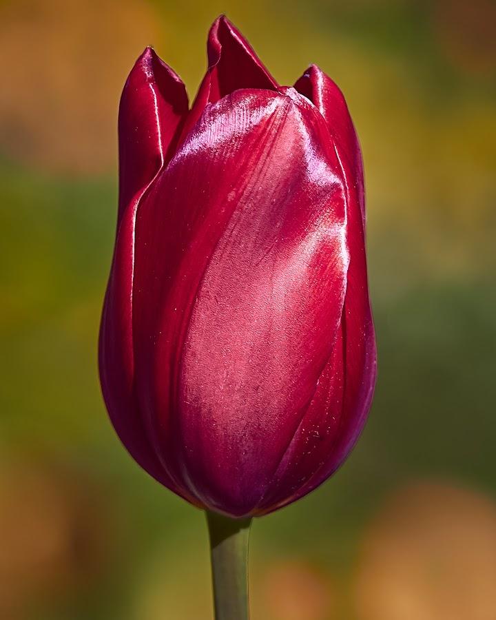 0 Tulip 99901 P by Raphael RaCcoon - Flowers Single Flower