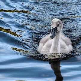Cygnet by Lesley Hudspith - Animals Birds ( ugly, cygnet, swan, grey, baby,  )