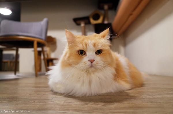 和貓咪有約 | 松山區。崩潰可愛!貓奴必訪不限時咖啡廳(捷運南京三民站)