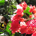 Ceylon Birdwing Butterfly