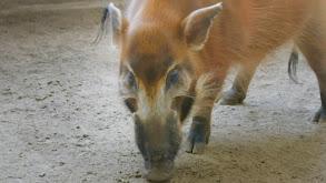 Hog Wild thumbnail