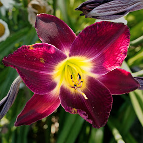 maroon lily by Sandra Veech - Nature Up Close Flowers - 2011-2013