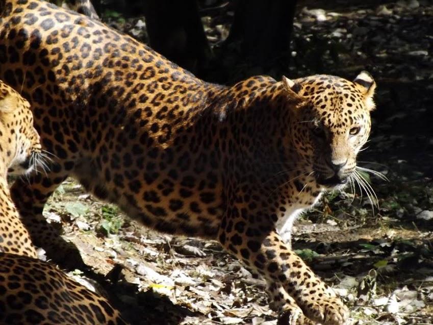 Panthère du Sri Lanka, Parc des Félins - Tous droits réservés