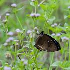 Euploea midamus 藍點紫斑蝶