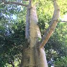 Dita, devil tree, blackboard tree