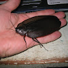 Giant Black Cockroach
