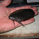 Giant Black Cockroach