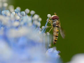"""Photo: This photo appeared in an article on my blog on Jul 1, 2013. この写真は7月1日ブログの記事に載りました。 """"Hoverfly and Hydrangea"""" http://regex.info/blog/2013-07-01/2278"""
