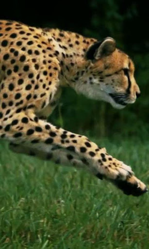 Cheetah live wallpaper