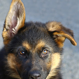 I'm Watching You! by Chrissie Barrow - Animals - Dogs Portraits ( pet, fur, ears, puppy, german shepherd, dog, nose, tan, black, portrait, eyes )