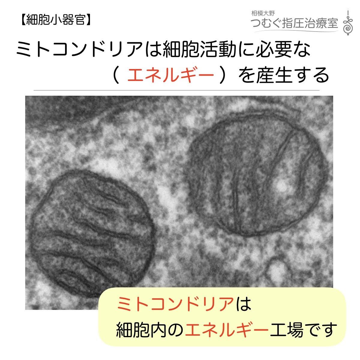 ミトコンドリアは細胞活動に必要な(   )を産生する