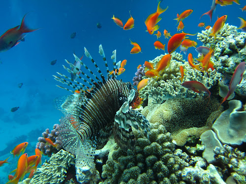 Lunch time by Alin Miu - Landscapes Underwater ( coral reef, coral life, underwater, fish, lion fish, red fish )