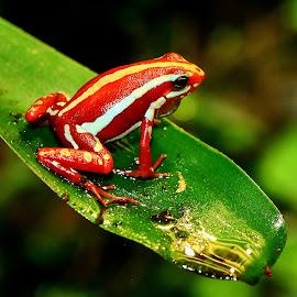 Epipedobate by Gérard CHATENET - Animals Amphibians
