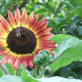 Sunflower by Judy Soper - Nature Up Close Flowers - 2011-2013 ( bee, sunflower, insect, garden, flower )