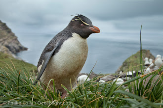 Photo: Western rockhopper penguin, standing atop tussock grass near a rookery of black-browed albatross.