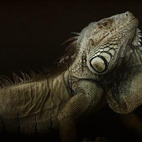 Iguana by Aleksandar Milosavljević - Animals Reptiles (  )