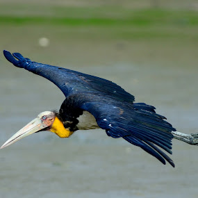 Lesser Adjutant by Azmi Jailani - Animals Birds