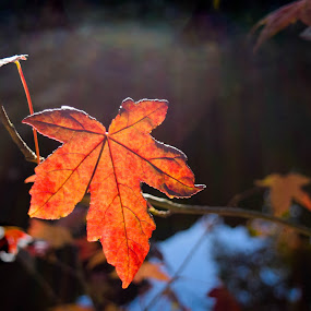 Orange Oak Leaf by Gwyn Goodrow - Nature Up Close Leaves & Grasses ( single, red, nature, seasons, autumn, oak, outdoors, fall, leaf, changing of the leaves, golden,  )