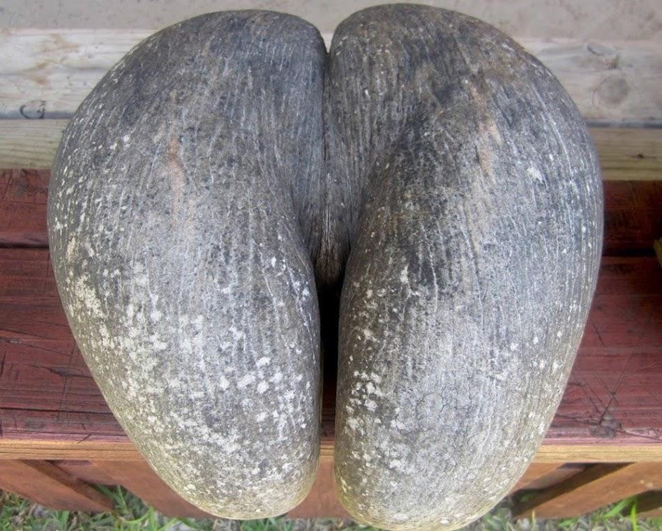 Coco-do-mar, a maior semente do mundo