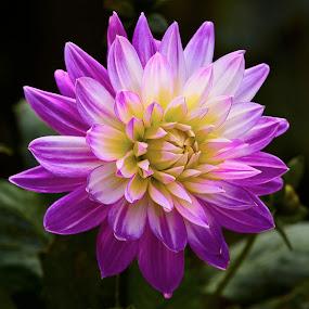 Dahlia 8485~ by Raphael RaCcoon - Flowers Single Flower