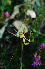 Photo: Caladenia falcata