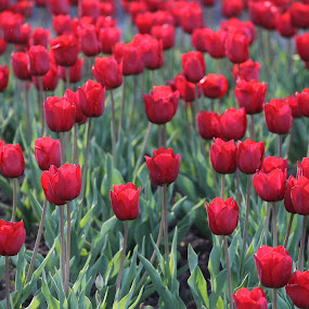 Tulips by Jessica Lunn - Nature Up Close Flowers - 2011-2013 ( red, niagara falls, nature up close, tulips, flowers )