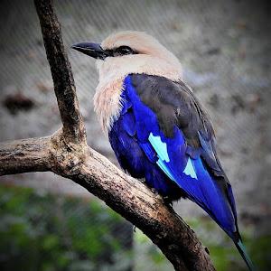 Blue-bellied Roller (2).JPG