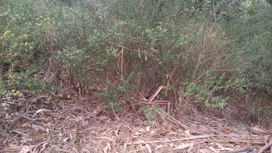 Photo: Bark and leaves suspended in the broom thicket, next to barren area around the base of the eucalyptus.