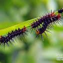 Tawny coster caterpillar.