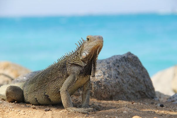 Iguana Beach, Renaissance Island