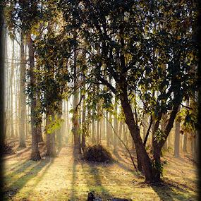 Sun Through Trees by Brenda Hooper - Landscapes Sunsets & Sunrises ( sky, grass, green, trees, yellow, sun,  )