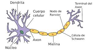 Resultado de imagen de neurona