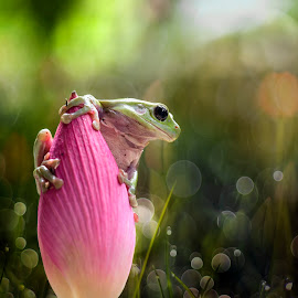 Mantis, Orchid Mantis, Frog, Frogs, flower, lotus by Sulistyo Aji - Uncategorized All Uncategorized ( macro, frog, nature, insect, animal, lotus, indonesia, flower )