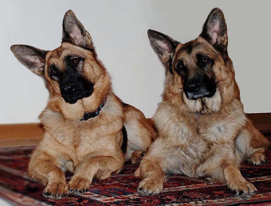 Listening to Wolves by Nancy Tubb - Animals - Dogs Portraits ( canine, dogs, k9, guard dogs, german shepherd,  )