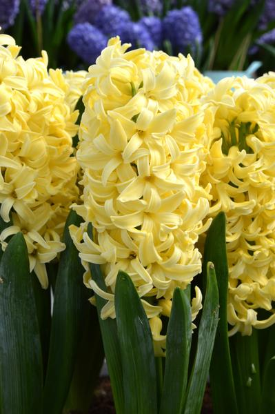 Hyacinth-Yellow-Queen_grande