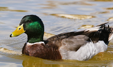 Photo: Duck in Ashley Pond pond