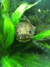 Photo: Bowfin at The Tank...kind of looks like that turtle creature that was also a mountain in The Neverending Story...