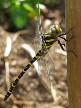 Photo: Golden Ringed Dragonfly (Cordulegaster boltonii) I saw two of these beauties this year, the second time one suddenly landed on my garden fork as I as digging up spuds! http://en.wikipedia.org/wiki/Golden-ringed_Dragonfly  For #macro4all by +Bill Urwin, +Thomas Kirchen, +Mark O'Callaghan  +Walter Soestbergen (+Macro4All ) and #hqspmacro +HQSP Macro curated by +Vinod Krishnamoorthy, +Sandra Deichmann +Suzi Harr and +Chandro Ji #odonatapoker  #odonata Edit: test to see if this missing post will come back again. AND AGAIN.