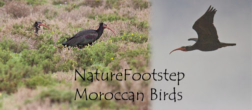 Photo: Eremit ibis Eremitibis - Geronticus eremita - Northern Bald Ibis or Waldrapp -  L'Ibis chauve   NF Photo 121111 at Tamri, Morocco   http://nfmoroccobirds.blogspot.se/